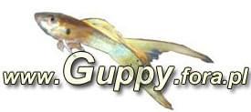 Forum Guppy.fora.pl Strona G��wna