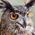 Puchacz #ptak #drapieżnik #natura #puchacz