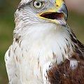 Myszołów królewski #ptak #drapieżnik #myszołów #natura