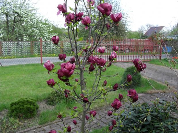 zobacz w tek kwitn ce magnolie. Black Bedroom Furniture Sets. Home Design Ideas